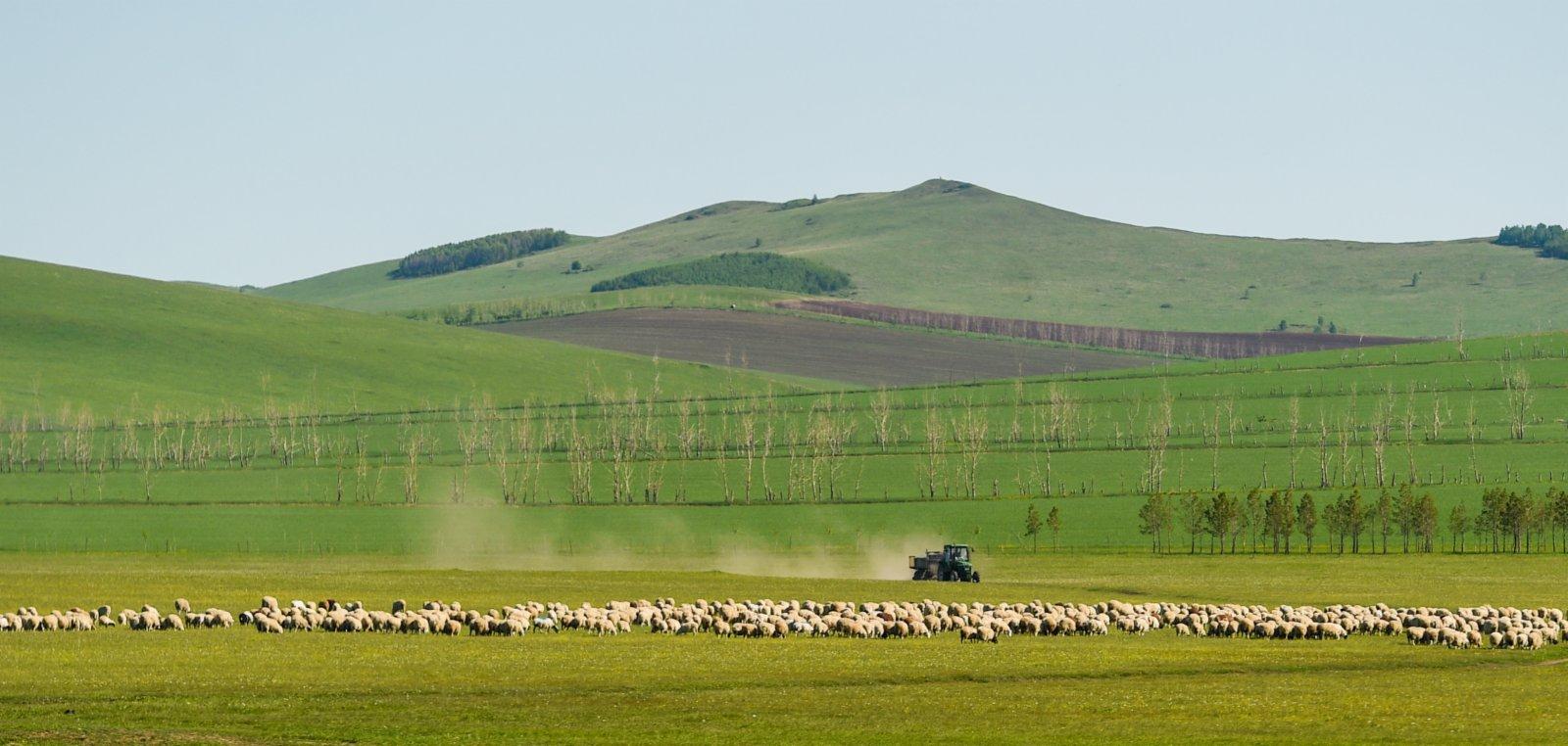 6月6日,畜群在呼倫貝爾大草原上覓食。(新華社)