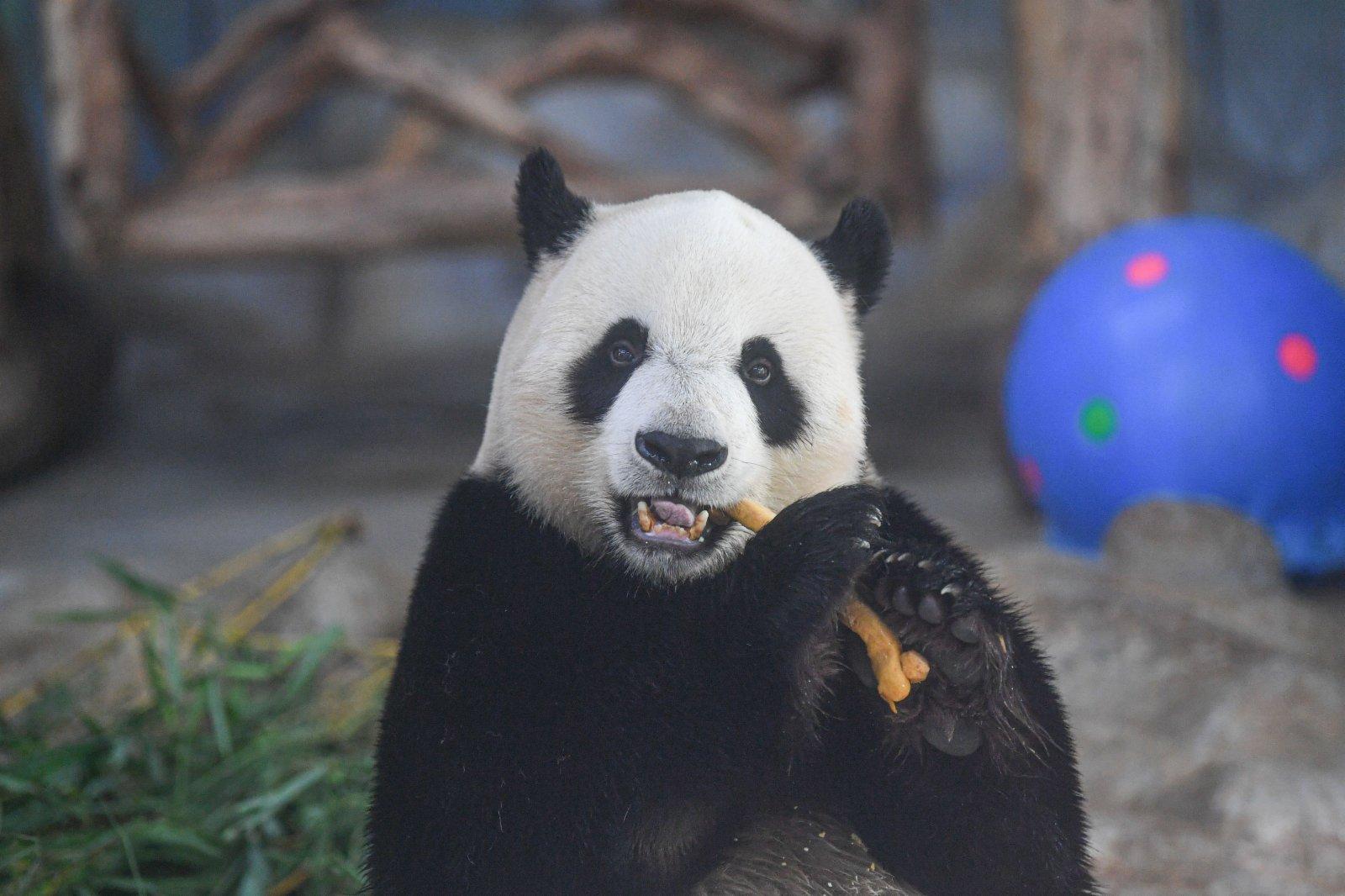 6月14日,在位於海口的海南熱帶野生動植物園,大熊貓「舜舜」享用美食。(新華社)