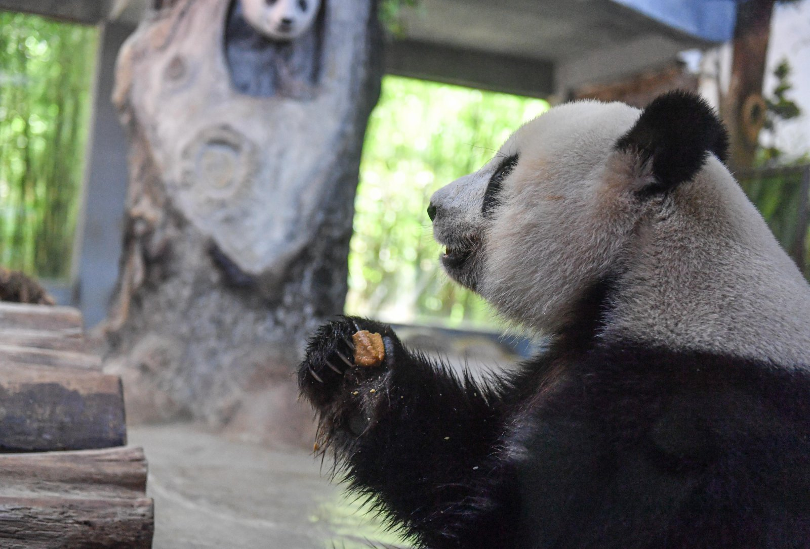 6月14日,在位於海口的海南熱帶野生動植物園,大熊貓「貢貢」吃「粽子」。(新華社)