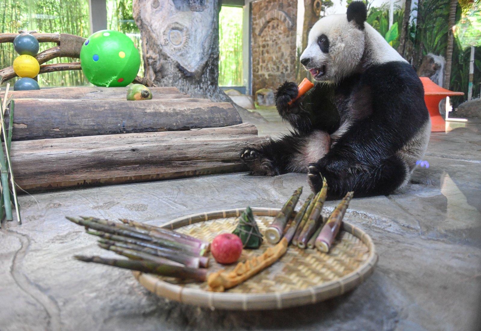 6月14日,在位於海口的海南熱帶野生動植物園,大熊貓「貢貢」享用美食。(新華社)