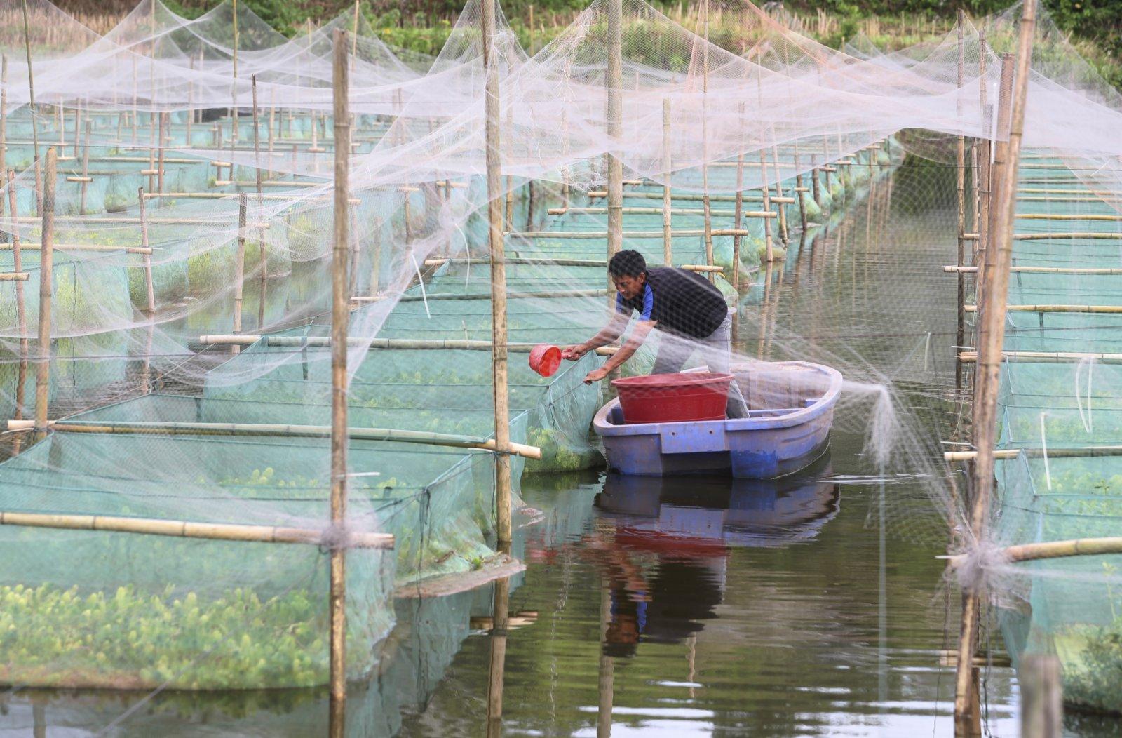 6月15日,在湖南省衡陽市衡南縣向陽橋街道天竺村,村民給鱔魚投喂餌料。(新華社)