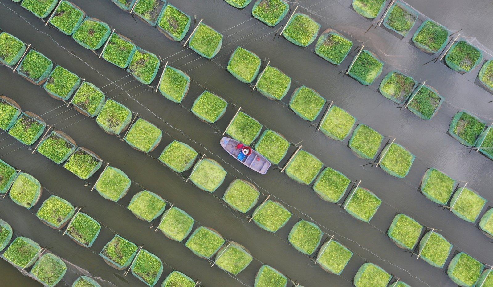 6月15日,在湖南省衡陽市衡南縣向陽橋街道天竺村,村民給鱔魚投喂餌料(無人機照片)。(新華社)