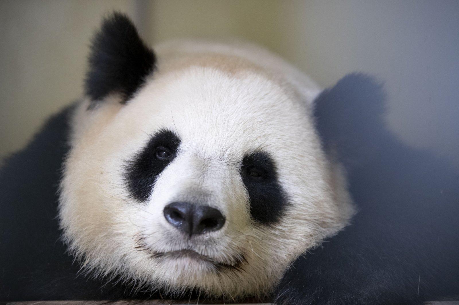這是5月5日在法國博瓦勒野生動物園拍攝的大熊貓「歡歡」的資料照片。(新華社)