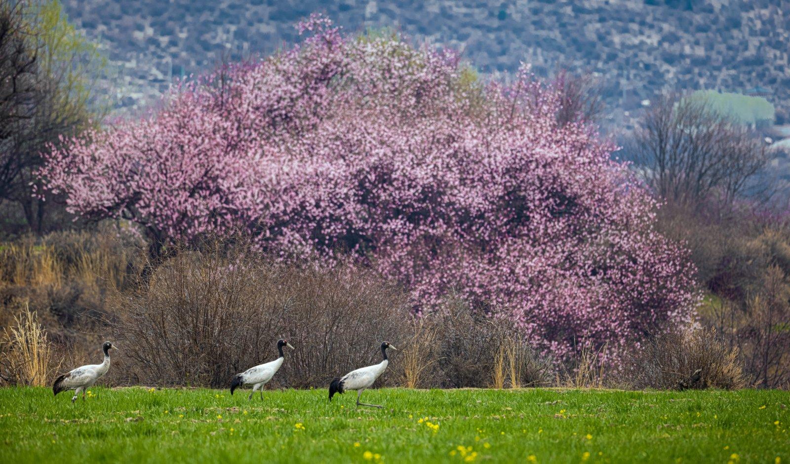 這是3月26日在林芝境內拍攝的黑頸鶴。(新華社)
