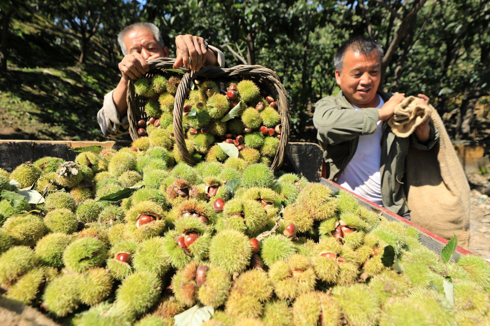 9月7日,河北省遷西縣灑河橋鎮安家峪村農民在收穫板栗。(新華社)