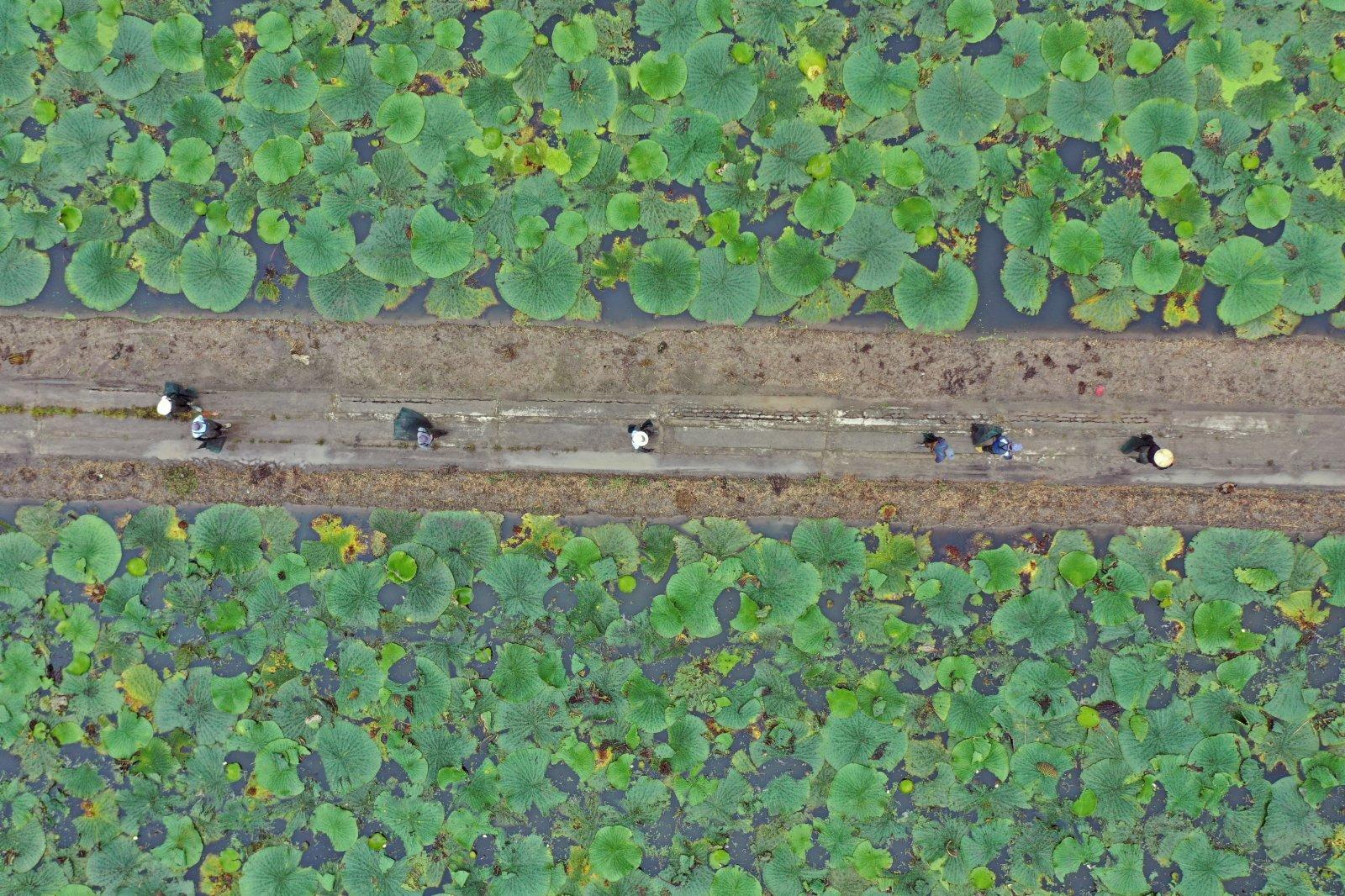 9月7日,江蘇省揚州市寶應縣望直港鎮和平村農民收穫芡實(無人機照片)。(新華社)