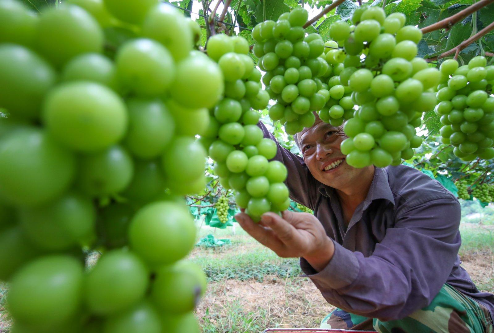 9月7日,貴州省銅仁市玉屏侗族自治縣亞魚鄉沙子坳村的農民在採收葡萄。(新華社)