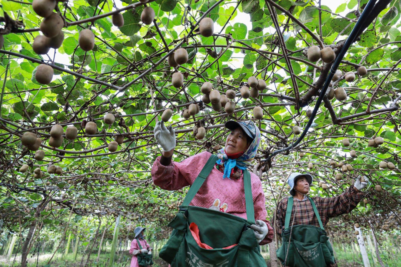 9月7日,在江蘇省連雲港市贛榆區塔山鎮一獼猴桃產業園內,農戶在採收獼猴桃。(新華社)