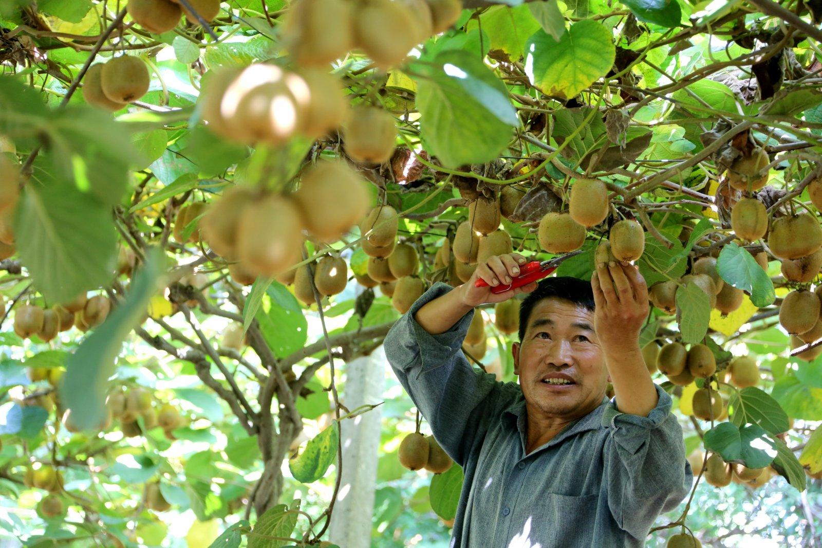 9月7日,山東省棗莊市市中區齊村鎮農民在果園採摘獼猴桃。(新華社)