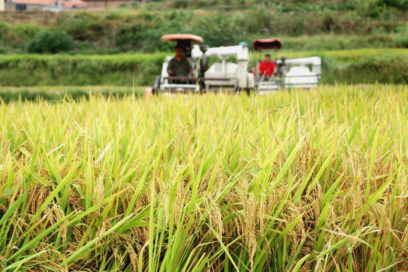 9月7日,在湖南省漣源市橋頭河鎮東石村,村民駕駛收割機收穫稻穀。(新華社)