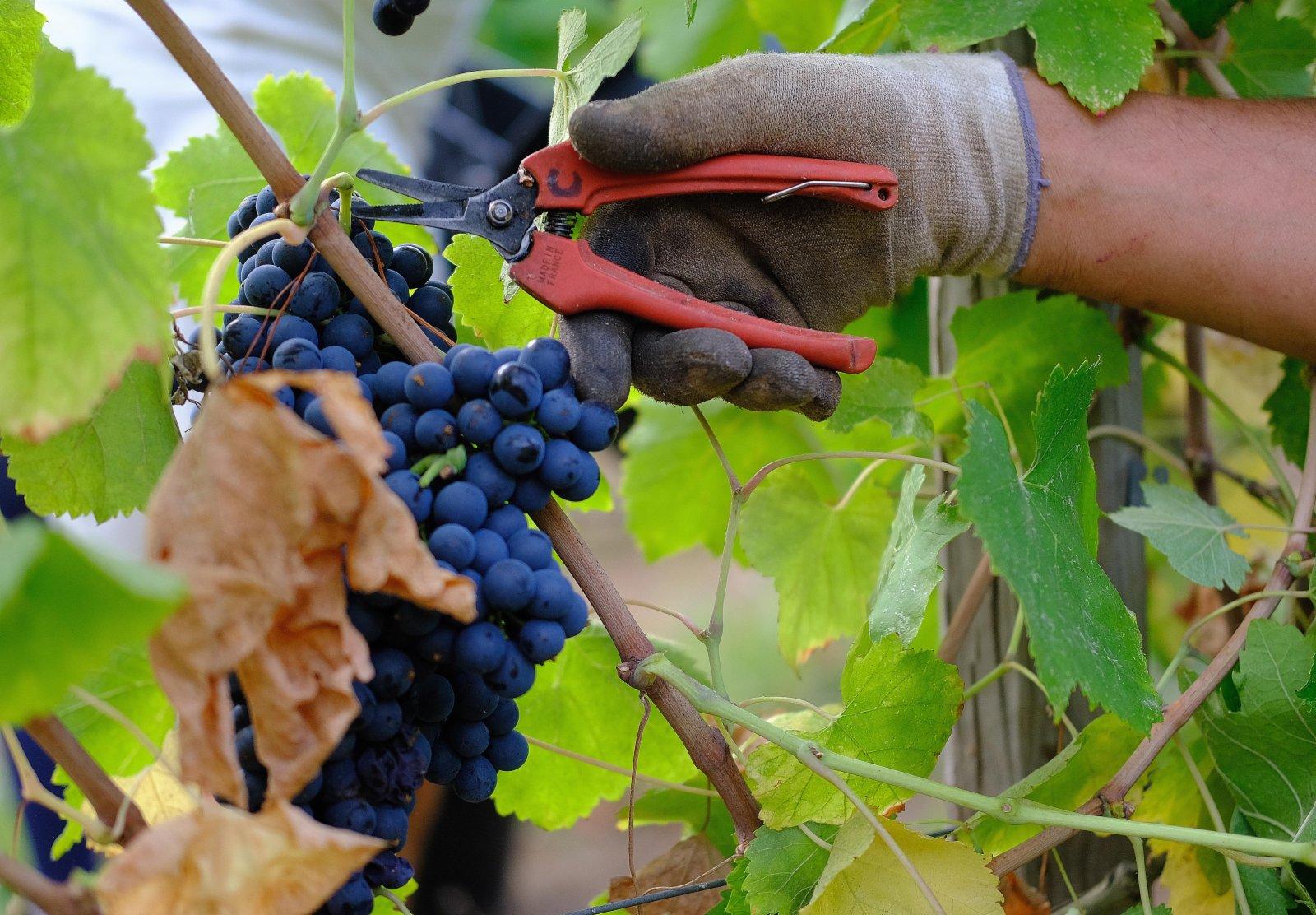 法國近日迎來葡萄豐收季。