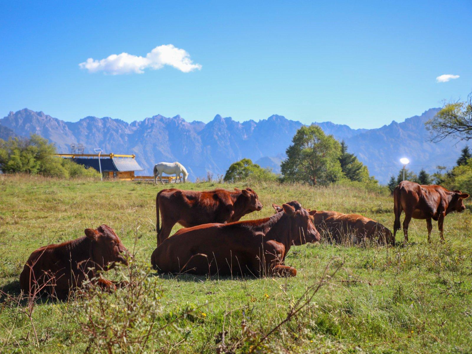 在拉尕山景區拍攝的牛群。(新華社)