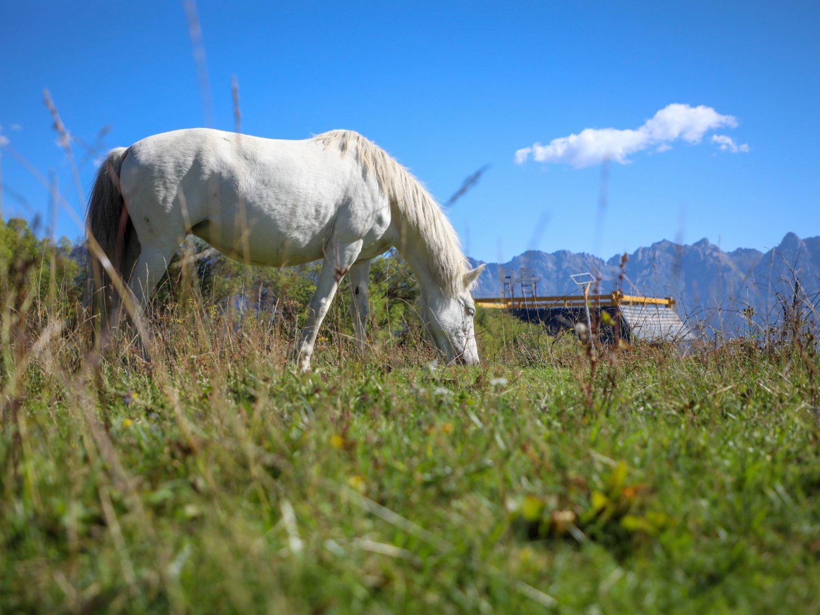 拉尕山景區拍攝的白馬。(新華社)