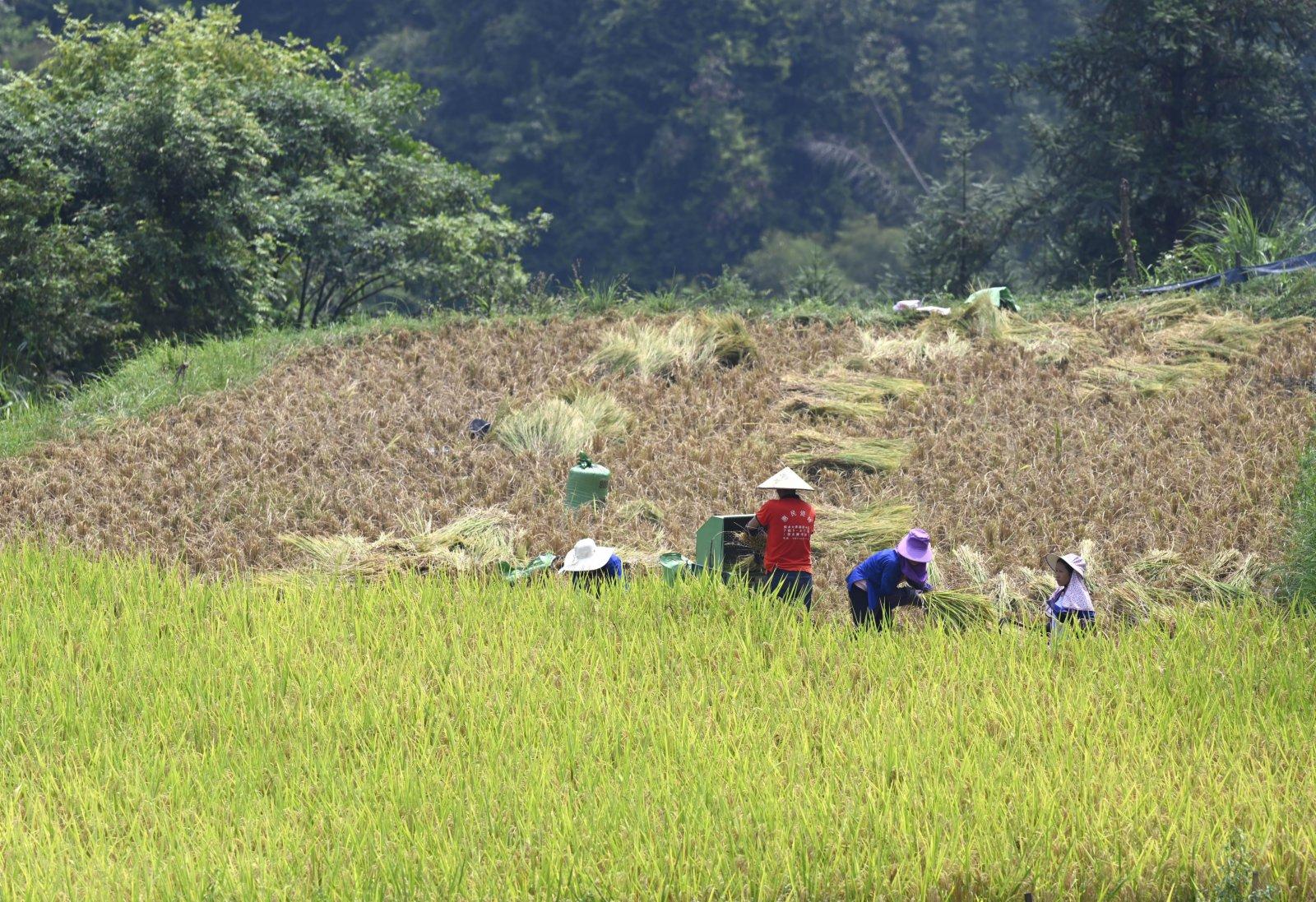在三江侗族自治縣良口鄉燕茶村,村民在稻田裏收割稻穀。