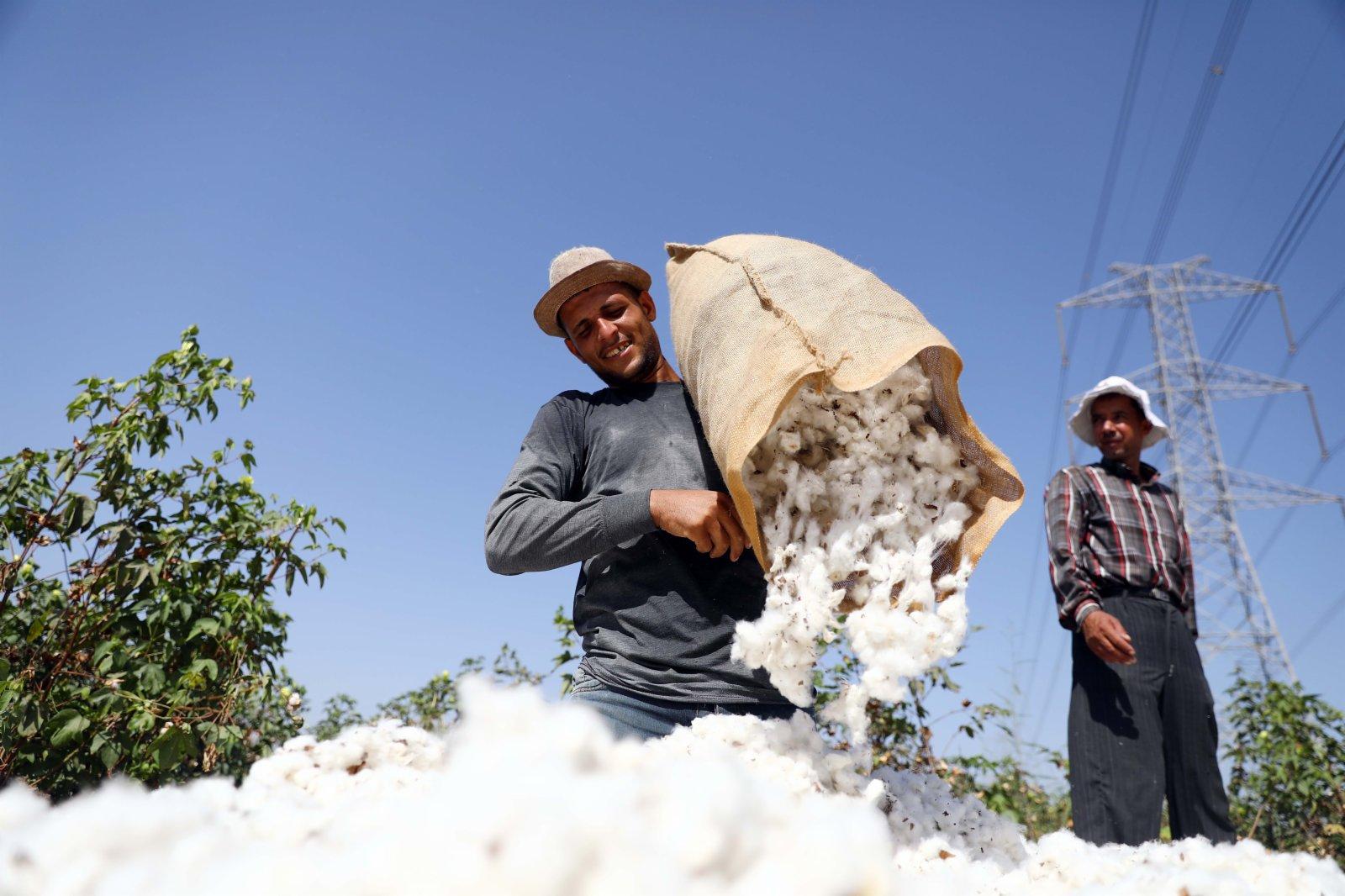 9月22日,農民在埃及尼羅河三角洲地區謝赫村省的棉田中採摘棉花。(新華社)