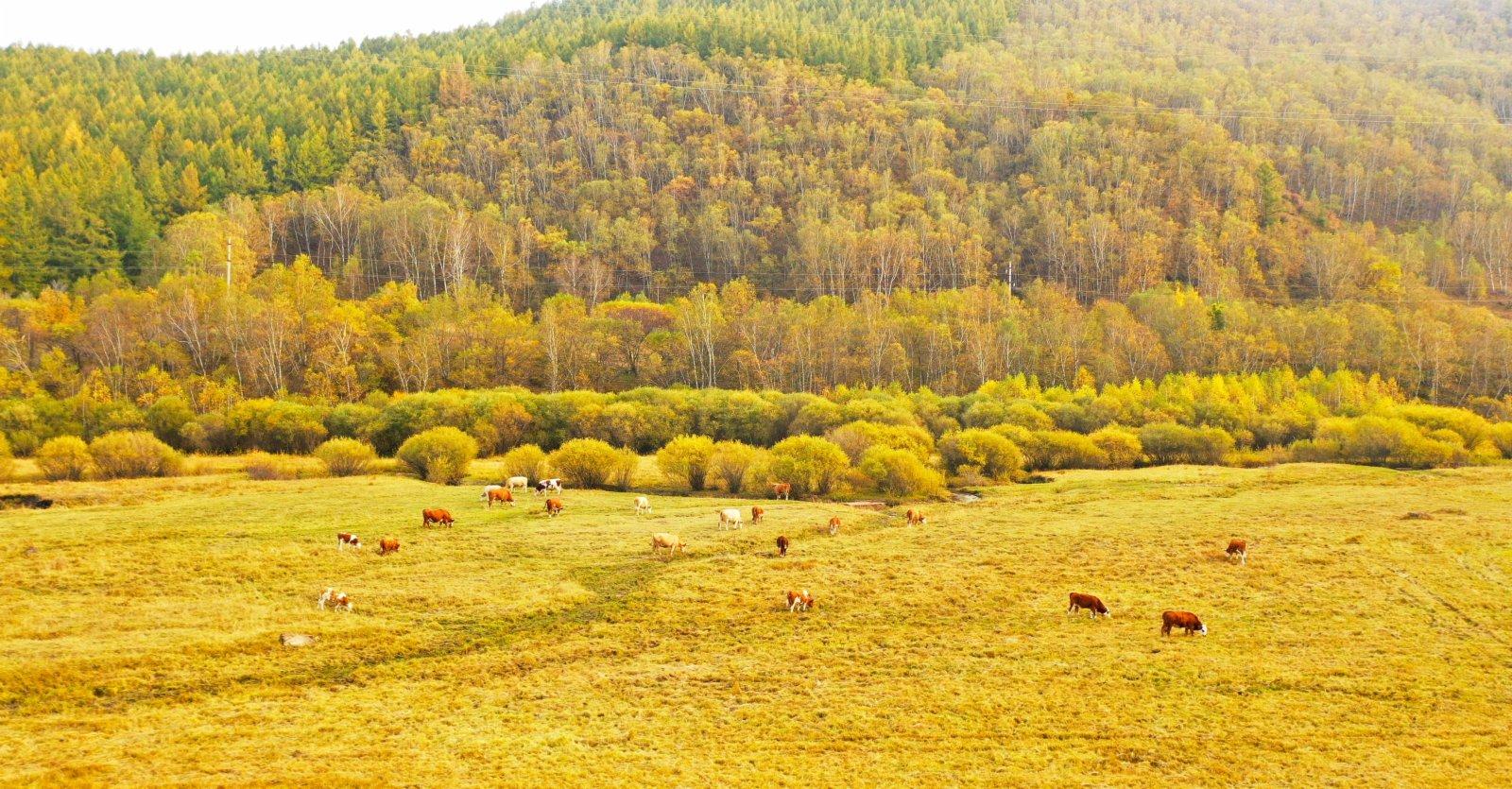 9月23日,牛群在塞罕壩機械林場吃草。(新華社)