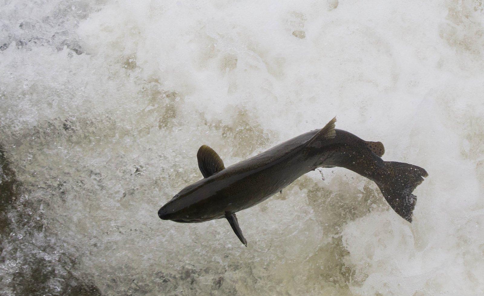 10月6日,在加拿大安大略省霍普港加納拉斯卡河上,一條虹鱒魚躍過魚梯。新華社