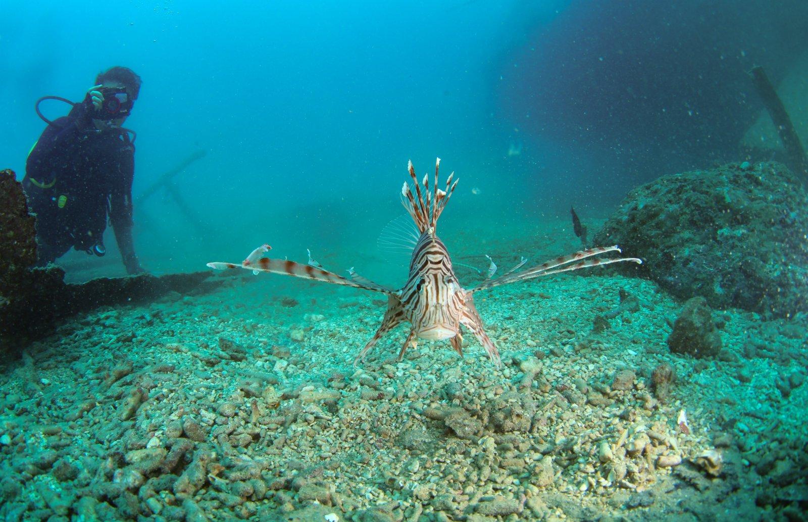在分界洲島海域,一條獅子魚在海中游動。(新華社)