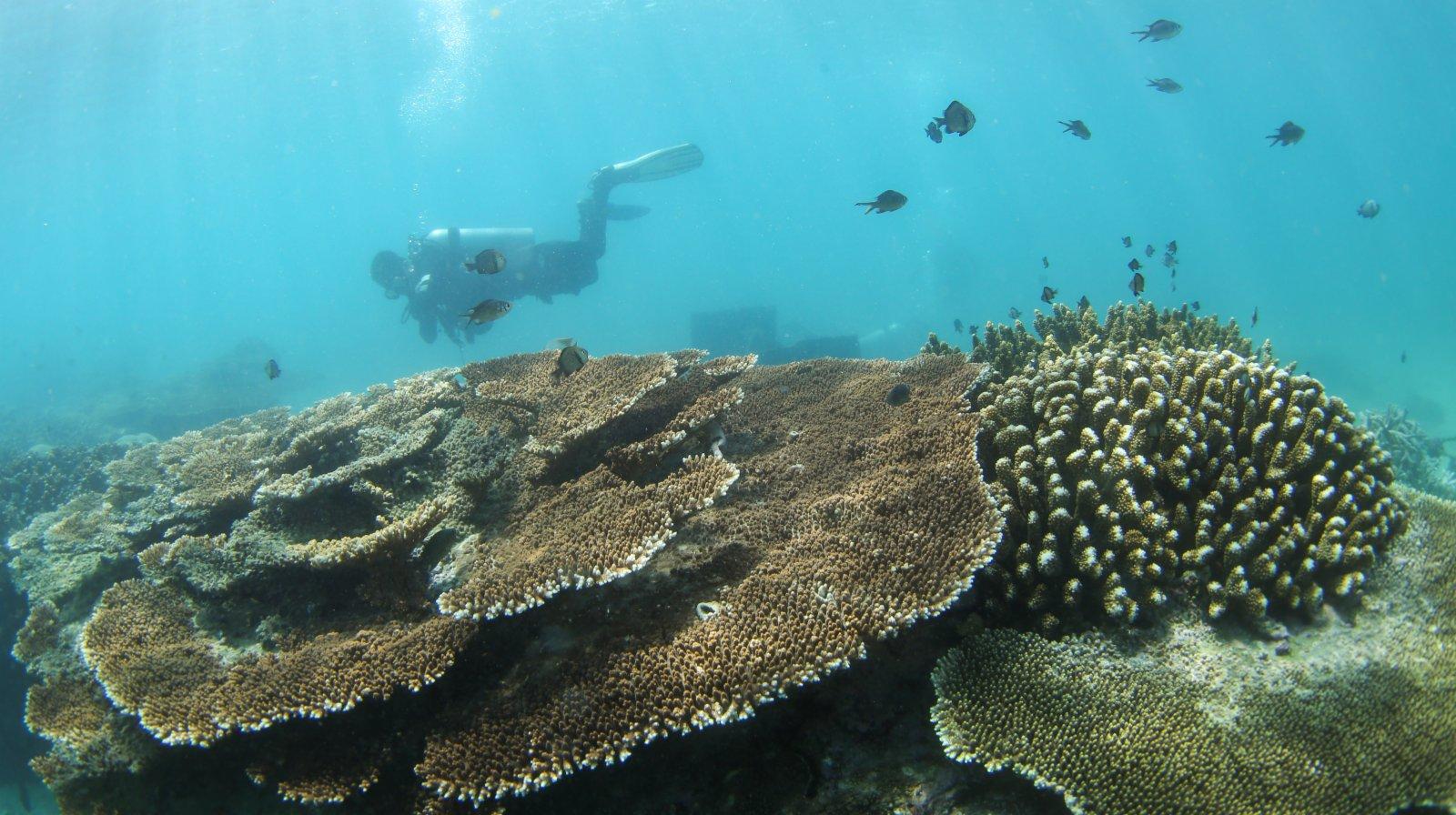 在分界洲島海域,潛水員查看海底珊瑚生長情況。(新華社)