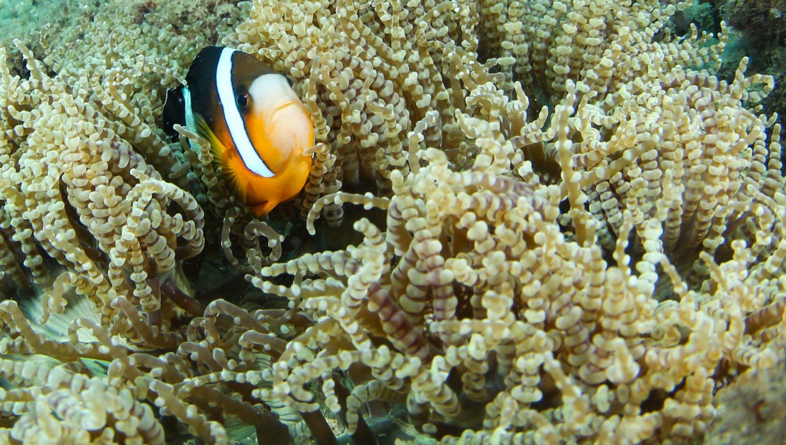 分界洲島海域裏海葵內的小丑魚。(新華社)